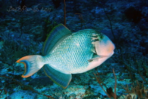undefined trigger fish in Guraidhoo Channel